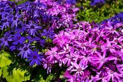 Mała kępa purpur i menchii osteospermum kwitnie zdjęcia stock