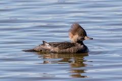 Mała kaczka na szklistym odbijającym jeziorze fotografia stock