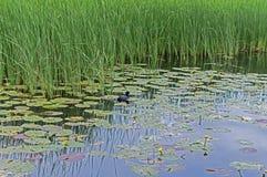 Mała kaczka pływa na jeziorze wśród Żółtych Lotosowych kwiatów Obraz Stock