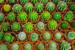 Mała kaktusowa roślina w kwiatu garnku Obraz Royalty Free
