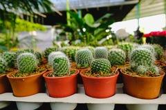 Mała kaktusowa roślina w kwiatu garnku Obrazy Stock