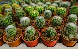Mała kaktusowa roślina w kwiatu garnku Fotografia Stock