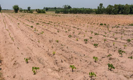 Mała kasawa kasawy gospodarstwo rolne, przemysłowa kropla Tajlandia Obrazy Stock