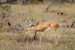 Mała klipspringer antylopa, Kruger park narodowy, Południowa Afryka Zdjęcia Stock