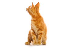 mała kot czerwień Obraz Royalty Free