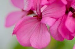 mała kwiat róża zdjęcie royalty free