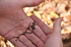 Mała lasowa jaszczurka w ludzkich rękach zdjęcie stock