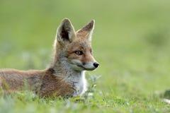 mała lis czerwień Obraz Stock
