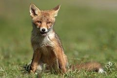 mała lis czerwień Obrazy Stock