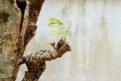 Mała młoda liść próba rosnąć na dużej drzewnej ` s gałąź Fotografia Stock