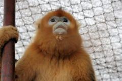 mała małpa Fotografia Stock