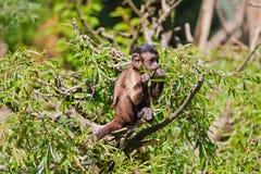 mała małpa Zdjęcie Stock