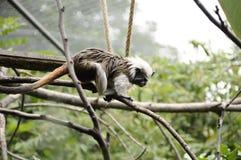 Mała małpa Obraz Royalty Free