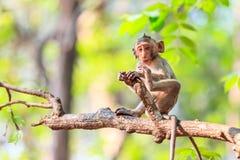 Mała małpa na drzewie (łasowanie makak) zdjęcia royalty free