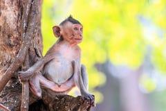 Mała małpa na drzewie (łasowanie makak) Zdjęcie Stock