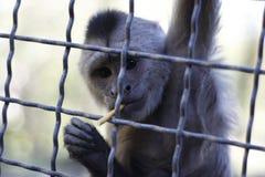 Mała małpa w klatce obraz stock