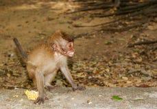 Mała małpa w małpim lesie Ubud, Bali, Indonezja fotografia royalty free