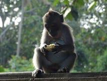 Mała małpa z mohawk łasowaniem Zdjęcie Royalty Free