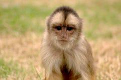 mała małpka Obraz Royalty Free