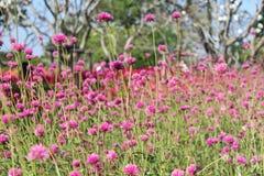 Mała menchia kwitnie w ogródzie zdjęcie stock