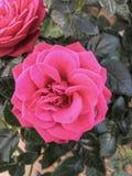 Mała menchii róża Fotografia Royalty Free