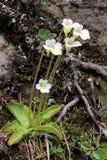 Mała mięsożerna roślina (pinguicula alpina) Zdjęcia Royalty Free
