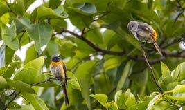 Mała minivet Pericrocotus cinnamomeus para zdjęcie stock