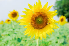 Mała miodowa pszczoła z słonecznikiem Obrazy Stock
