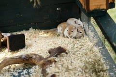 mała mysz obrazy stock
