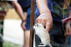mała mysz fotografia royalty free
