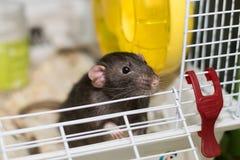 Mała mysz patrzeje dla coś Zdjęcia Stock