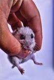 Mała mysz w ręce Zdjęcie Royalty Free