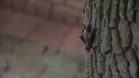 Mała nietoperz wspinaczka drzewo zbiory
