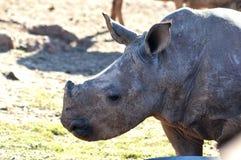mała nosorożec Obraz Royalty Free