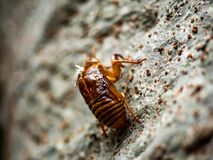 Mała odrzucająca cykady skorupa na drzewie makro- Zdjęcie Royalty Free