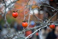 Mała owoc na wysuszonej gałąź Obrazy Royalty Free
