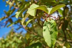 Mała owoc z liściem Fotografia Stock