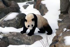mała panda obraz stock