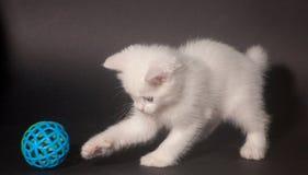 Mała piękna biała figlarka z niebieskimi oczami Zdjęcie Stock