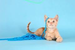 Mała Pomarańczowa Tabby figlarka w studiu Zdjęcia Stock