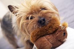 Mała Psia sztuka z zabawką Zdjęcia Royalty Free