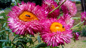 Mała pszczoła w Różowawym purpurowym dahila kwiacie Obraz Stock