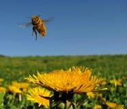 mała pszczoły dziewczyna kostiumowa latająca Obraz Stock