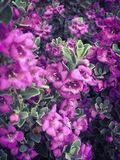 Mała purpura Kwitnie na Zielonym Bush tle fotografia royalty free