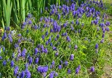 Mała purpura kwitnie w ogródzie obrazy royalty free