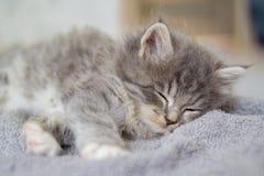 Mała puszysta Popielata persa Maine coon figlarka kłama i śpi na szarej poduszce Nowonarodzona figlarka, dzieciaków zwierzęta i k zdjęcie royalty free
