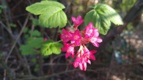 Mała różowa czerwień kwitnie w jarzębatym świetle słonecznym Obrazy Royalty Free