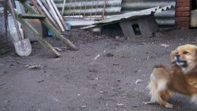 Mała rewolucjonistka psa pozycja na Dwa nogach w jardzie na Łańcuszkowe barkentyny swobodny ruch zdjęcie wideo