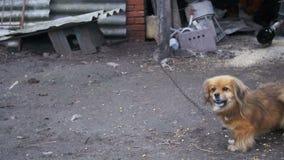 Mała rewolucjonistka psa pozycja na Dwa nogach w jardzie na Łańcuszkowe barkentyny swobodny ruch zbiory