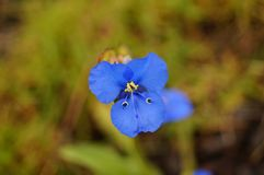 Mała roślina błękitni płatki kształtował jak motyl obraz royalty free